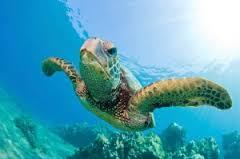 Hawksbill Turtle Similans