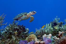 Turtels - Often seen snorkeling in Similan Islands