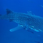 Diving Khao Lak - Whale Shark at Richelieu Rock