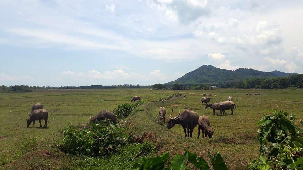 Koh Yao Noi Tours - Buffalos